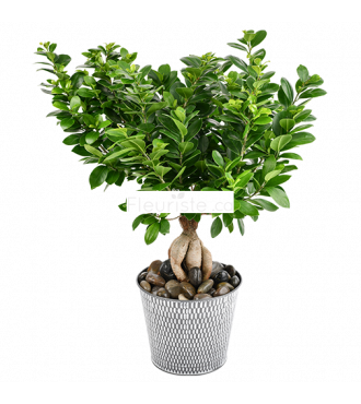 PLANTE FICUS GINSENG MODERNE