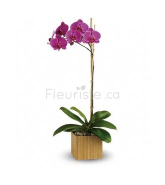 IMPERIAL VIOLET ORCHID